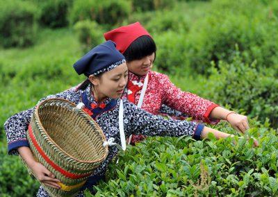 关于中国茶的三个小故事