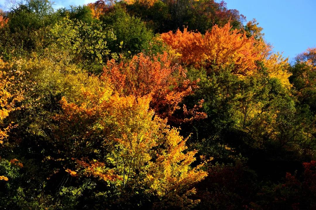 被惊艳到!汶川已层林尽染姹紫嫣红,周末汶川看彩林一起约约约!