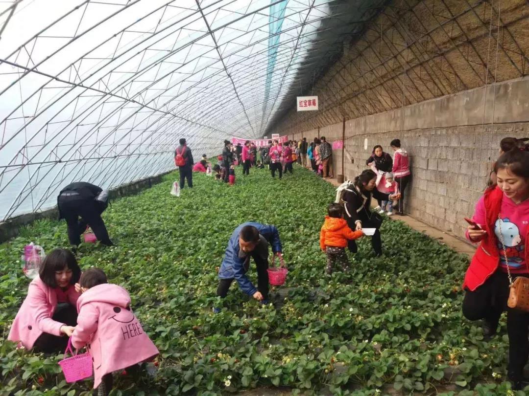 【新春走基层】红红的草莓火火的年——公主岭市环岭石人生态采摘园见闻